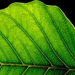 Фотосинтез бионического листа в десять раз превосходит натуральный процесс